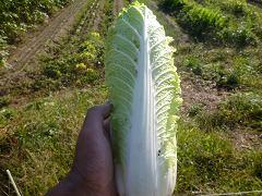 たけのこ白菜