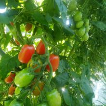 路地トマト(雨よけ無し)